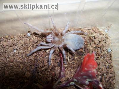Acanthoscurria_atrox