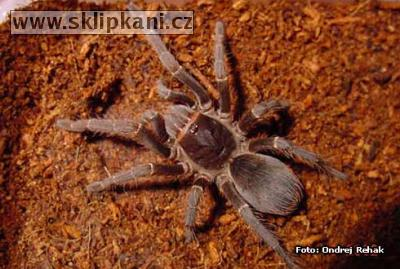 Acanthoscurria_musculosa