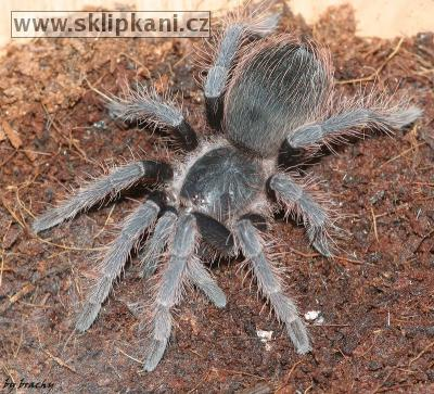 Acanthoscurria-natalensis