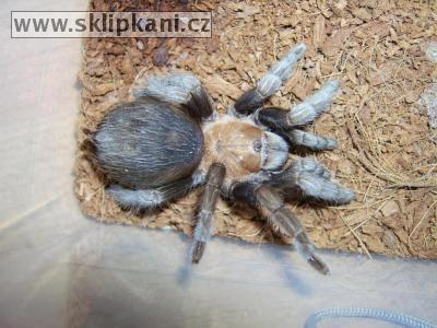Aphonopelma_caniceps
