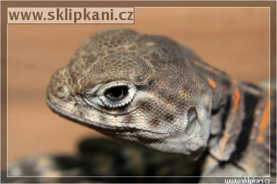 Crotaphytus-collaris