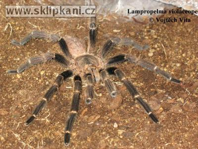 Lampropelma_violaceopes