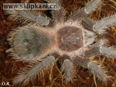 Lasiodora_striatipes