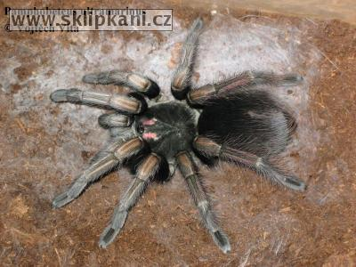 Pamphobeteus_ultramarinus