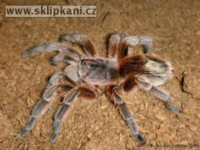 Paraphysa_sp._Chile