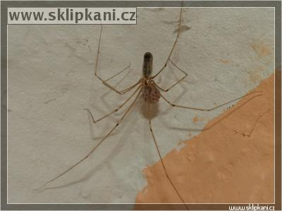 Pholcus-phalangioides