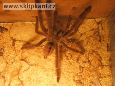 Psalmopoeus-cambridgei