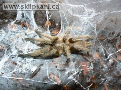 sklipkani.cz/pics/Chilobrachys_dyscolus-1275.jpg