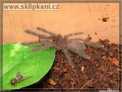"Cyriopagopus-sp.-""blue"""